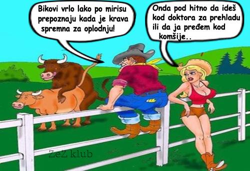 Bikovi osete po mirisu kad je krava spremna